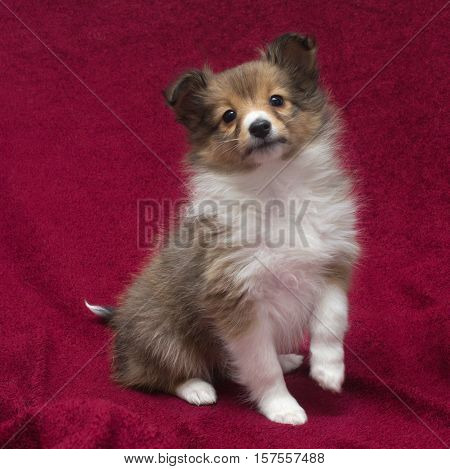 little puppy Sheltie on a red background