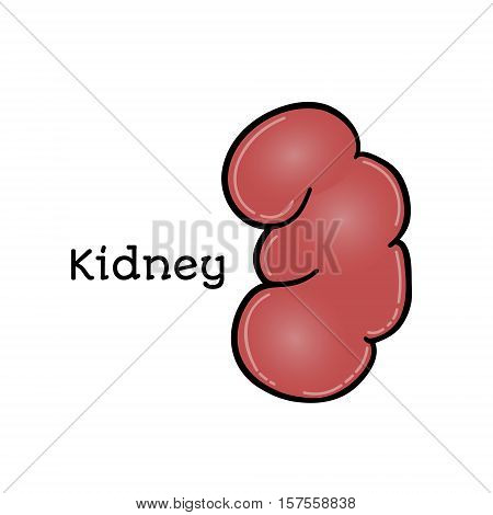 Human kidney, anatomical vector illustration isolated on white background. Healthy human kidney, abdominal organ, anatomical illustration, physiology, healthcare