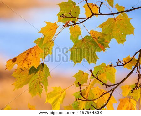 maple leaves in autumn on a branch, green, yellow, orange color, postcard theme, sunny evening, colorful vegetation, bright appearance, good background, processed,