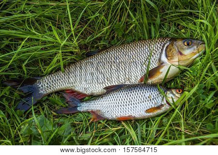 Fish roach and ide on the grass. Fresh.