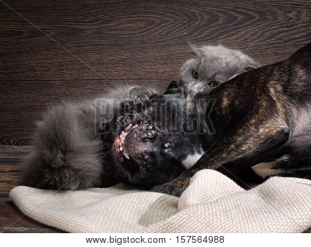 Fight cat and dog. Grey Cat. Muzzle black dog's mouth. The cat sharp claws