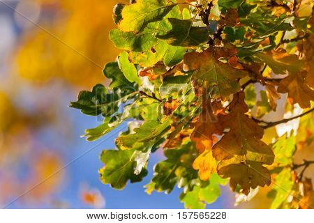 autumn oak leaves on a branch, green, yellow, orange color, postcard theme, sunny evening, colorful vegetation, bright appearance, good background, processed,