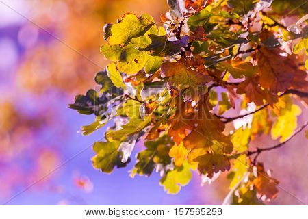 autumn oak leaves on a branch, painted in different colors, a pink tint, postcard theme, sunny evening, colorful vegetation, orange, yellow, purple, green, red, blue shades, bright appearance, good background, processed in a slightly unnatural colors,