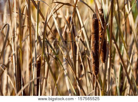 autumn high grass dried, brown, reeds growing on the banks of the river, some fluffed, the water is not visible, dry vegetation, sunny evening, beautiful views and background,