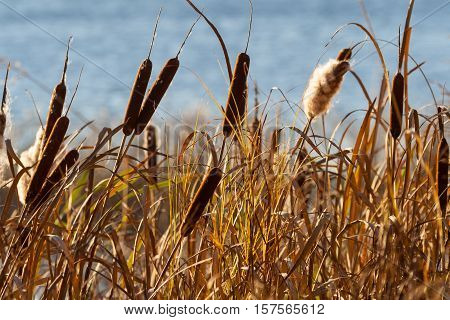 autumn high grass dried, brown, reeds growing on the banks of the river, some fluffed, visible blue water pond, dry vegetation, sunny evening, beautiful views and background,