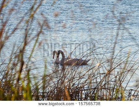 two swans swim on the lake next to each other, swans can be seen through the tall grass on the bank, a dry sedge swans hides from view people quiet place, hidden, autumn evening, sunny,