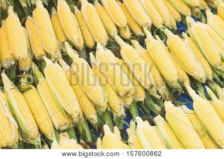 Corn cob between green leaves. Fresh sweet corn in the farmers market. Closeup of sweet boiled corn in market