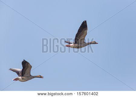 Two flying grey gooses (anser anser) in blue sky