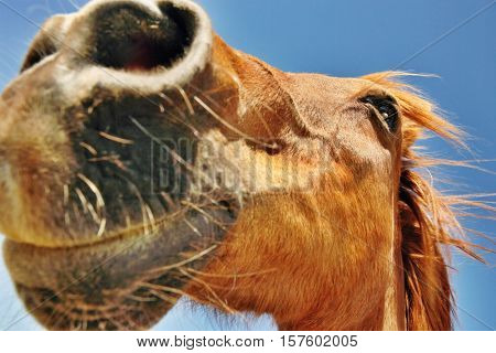 Closeup of a brown horse's snout against the sky