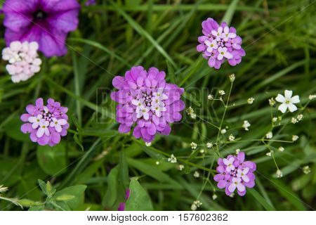 Small purple flower Iberis umbellate in summer