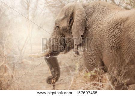 Adult elephant in kruger national park, south africa