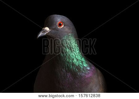 rock pigeon with colored neck on a black background, postal dove, symbol of peace