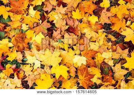 Colorful Autumn Maple Leaves In Orange Yellow And Brown Color.