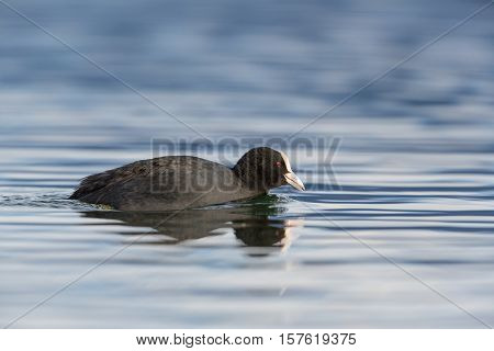 Portrait (side view) of black coot (Fulica atra) swimming in blue water