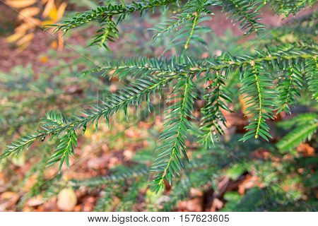 Closeup of green fir branch in front of the natural background (forest) by sunlight, outdoors