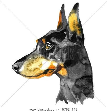 Doberman Animal dog watercolor illustration isolated on white