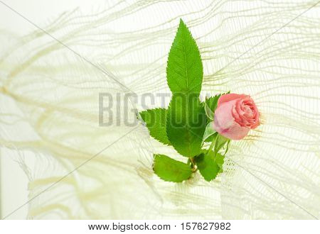 small pink rose mignon on white background