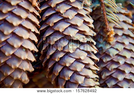macro photography of three spruce cones with resin
