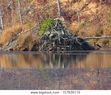 Beaver lodge in progress in pond during autumn in Tennessee