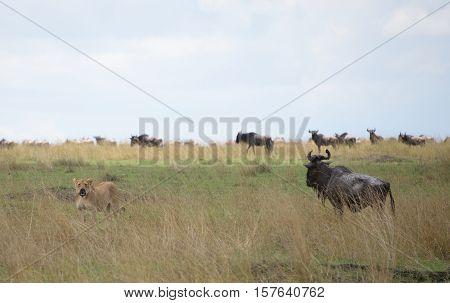Wildebeests running through the savannah. Great Migration. Kenya. Tanzania. Masai Mara National Park