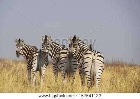 Two zebras in the savanna. Kenya. Tanzania. National Park. Serengeti.