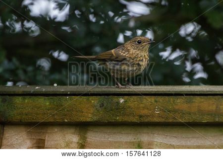Juvenile Robin (Erithacus Rubecula) perched on fence