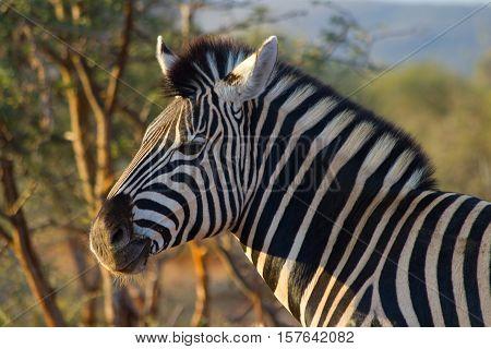 Zebra In The National Park