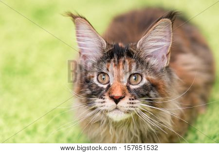 Fluffy tortoiseshell kitty sitting on a green carpet. Portrait of domestic Maine Coon kitten, top view point. Playful beautiful young cat looking upwards - focus on eyes.