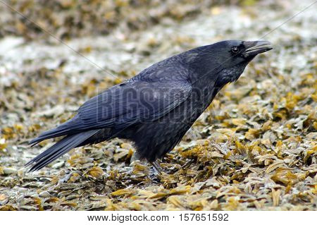 A Carrion Crow calling to it's companions