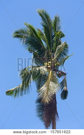 Coconut tree palm tree with ripe coconuts