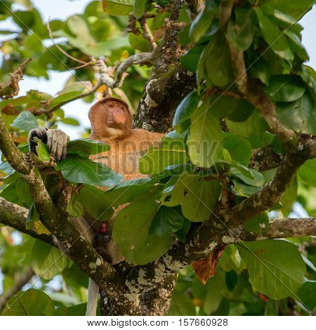 Proboscis Monkey (Nasalis larvatus) endemic of Borneo.  Male with a huge nose sit on the tree like a boss.