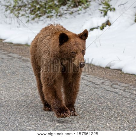 A Cinnamon American Black bear walks unconcernedly down a high Rocky Mountain road in search of food.