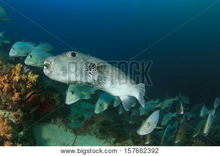 Puffer and Sweetlips fish underwater