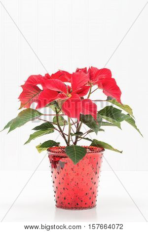 Red potted poinsettia against a background with ample copy space.