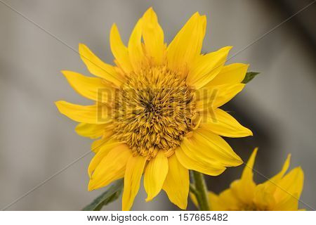 Sunflowers. Sunflower In Garden. Sunflowers Blooming In Sunflower Garden. Sunflower, Yellow Flowers