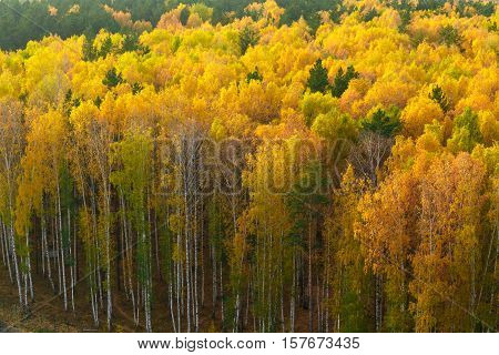 Autumn In Pine And Birch Forest