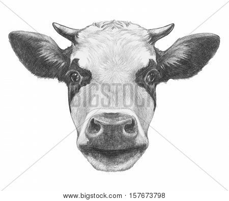 Portrait of Cow. Hand drawn illustration. Isolated on white background.