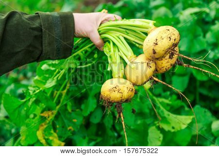 Female Hand Holding Young Turnips