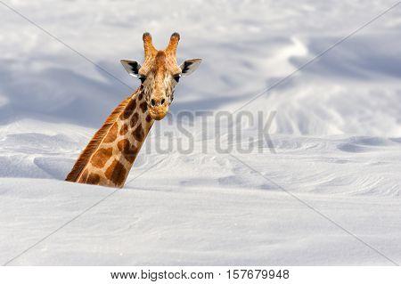 Close big african giraffe buried in snow