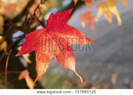 Maple leaf with autumn coloring in a park