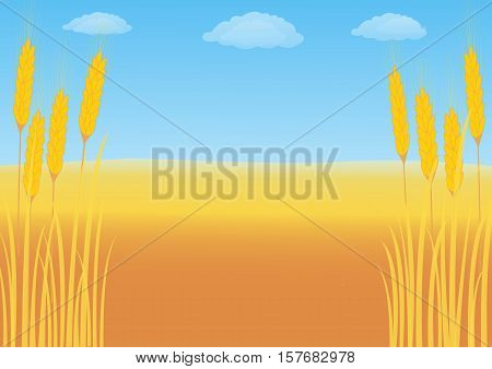 Wheat field on a background of blue sky with cumulus clouds