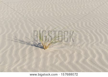 Marram grass on the beautifully ruffled Dutch sandy beach of Terschelling