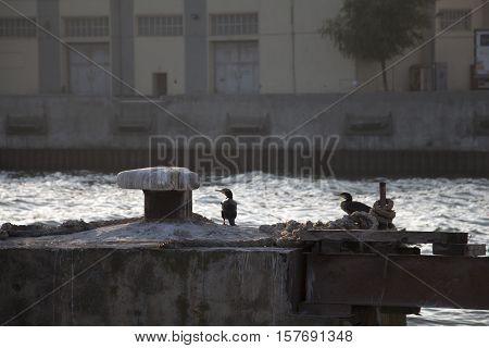 Great Cormorants at sea port. Lumpy sea