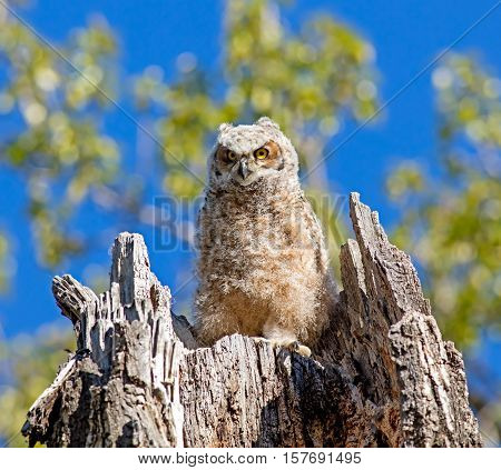 A Great Horned Owlet waits for a parent to return while sitting in its tree stump nest.