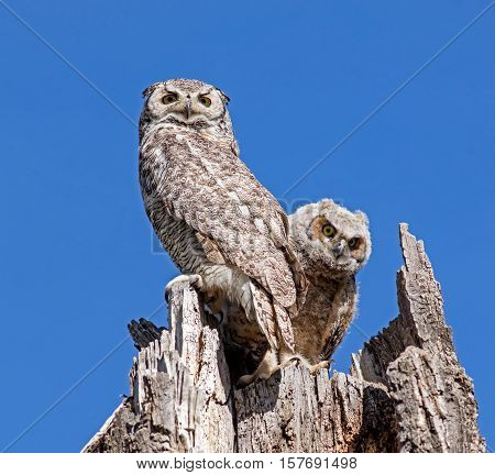 A Great Horned Owlet peeks around its parent while sitting in a tree stump nest.