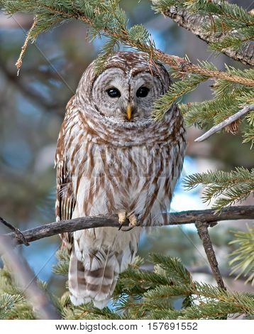 A Barred Owl peeks through the branches of a conifer during an Alberta winter.