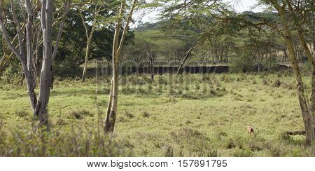 African panorama of Nairobi National Park with Impala