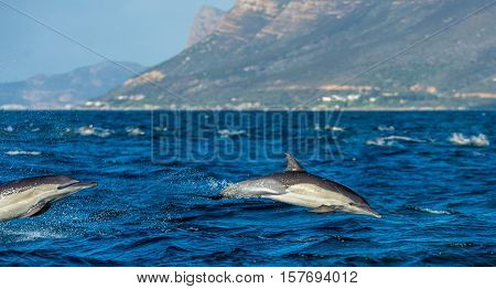 Dolphins swimming in the ocean and hunting for fish. The jumping dolphins comes up from water. The Long-beaked common dolphin (scientific name: Delphinus capensis) swim in atlantic ocean.