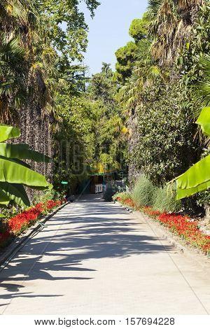 NIKITA, CRIMEA - SEPTEMBER 4, 2016: Photo of Palm alley. Nikita Botanical Garden.