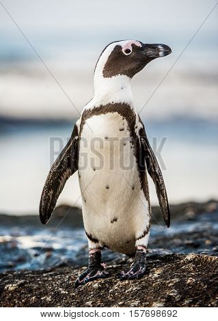 African penguin walks out of the ocean in the foam of the surf. African penguin ( Spheniscus demersus ) also known as the jackass penguin and black-footed penguin. Boulders colony. South Africa